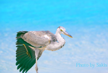 Grey Heron in Maldives