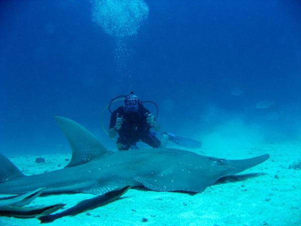 Guitar Shark encounter. Diving in Noonu Atoll - Hilton Iru Fushi Maldives