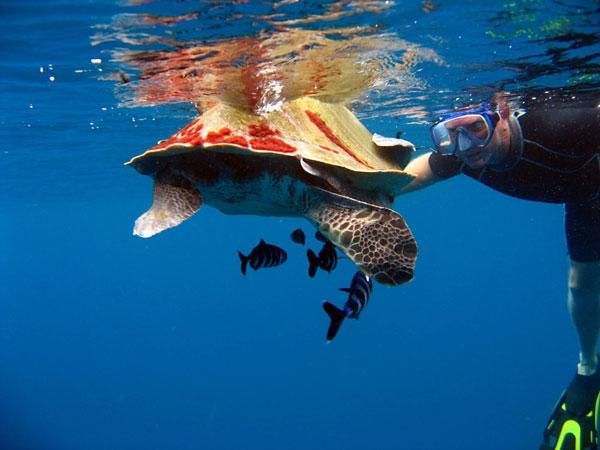 Humpback turtle meeting during a dive in Noonu Atoll - Hilton Iru Fushi Maldives