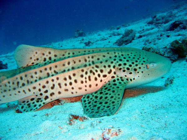 Diving with a Leopard Shark - Noonu Atoll - Hilton Iru Fushi Maldives