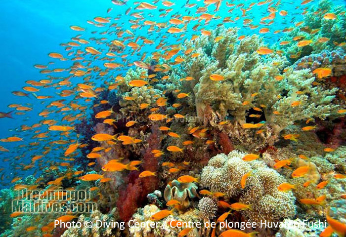 diving in North Male Atoll. wonderful underwater sceneries