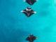 free HD Maldives Manta Rays Background image for Mobiles