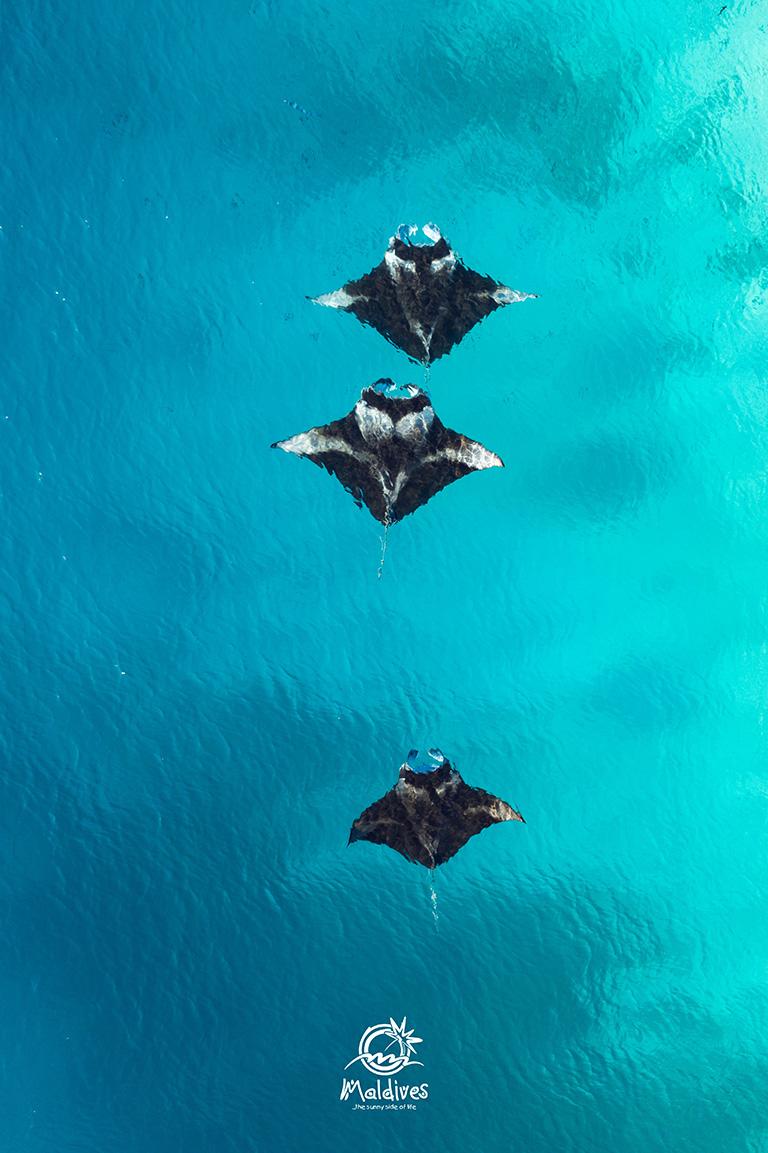 Maldives Free Mobile Wallpaper Of Manta Rays Freebie