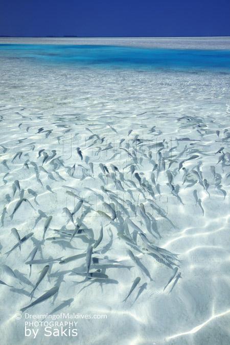 School of fishes and tropical lagoon in Maldives. Natural Aquarium