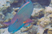 The usual suspects ………..in every house reef in Maldives