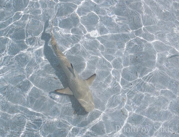 Shark in Maldives lagoon