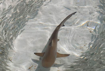 Photo of The Day : Young Black Tip Shark learning to hunt in the lagoon- Maldives