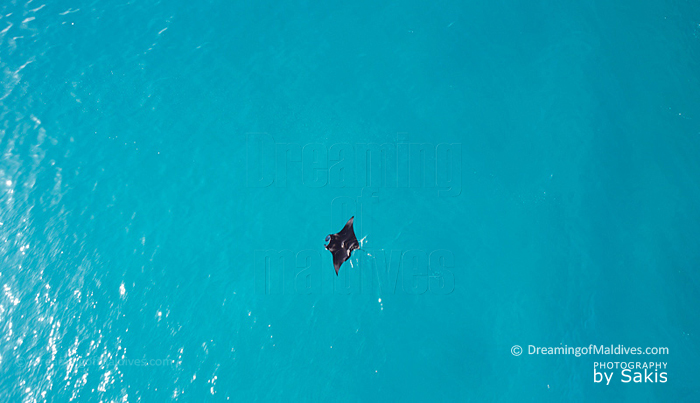 Manta swimming in Maldives lagoon view from the air