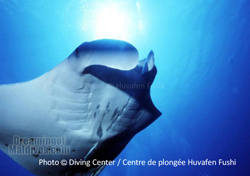 Diving with Mantas at Manta Point. One of the Dive Site of North Male Atoll