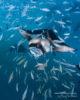 Snorkeling with Mantas at Hanifaru Bay Amilla