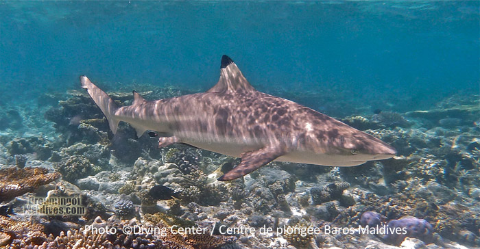 Black Tip Reef Shark ...A common encounter during a Dive or a snorkeling outside the house reef in North Male Atoll and in Maldives in general