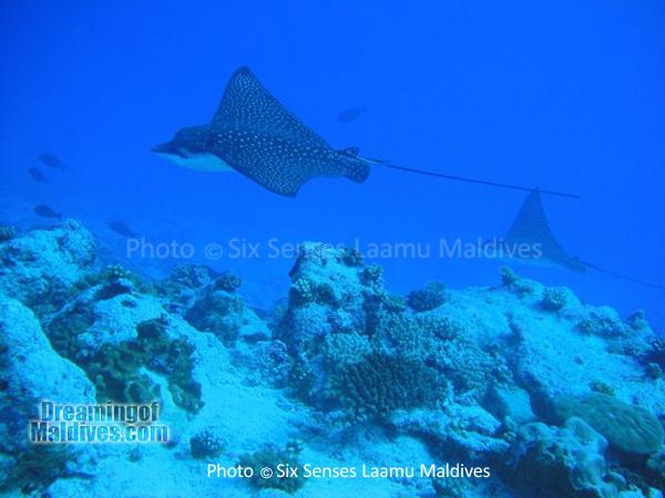 Eagle Rays - Diving at Six Senses Laamu - Laamu Atoll Maldives