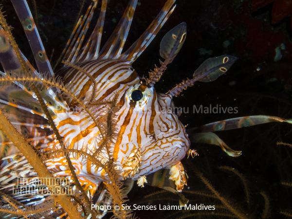Lion Fish - Diving at Six Senses Laamu - Laamu Atoll Maldives