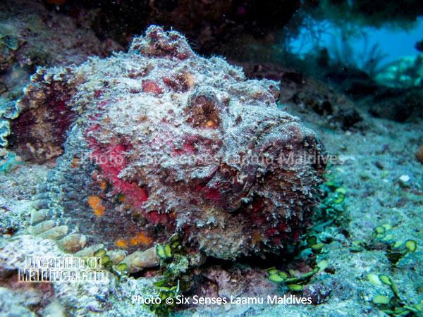 Stone Fish - Diving at Six Senses Laamu - Laamu Atoll Maldives