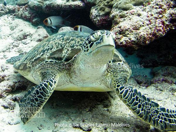 A turtle, a common encounter - Diving at Six Senses Laamu - Laamu Atoll Maldives