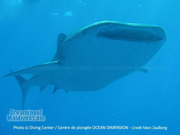Whale Shark encounter - Diving at Six Senses Laamu - Laamu Atoll Maldives