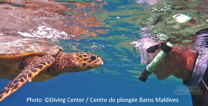 Fantastic Turtle encounter during a snorkeling trip at Baros Maldives