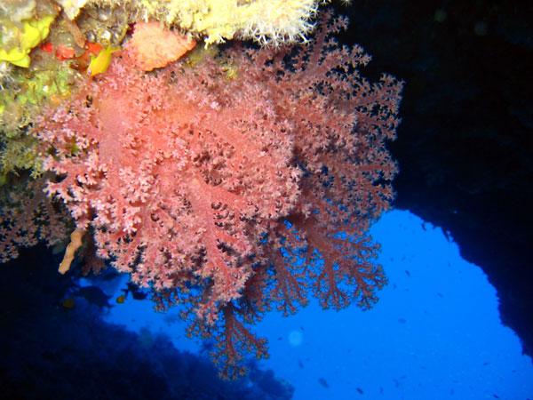 Christmas Tree Dive Spot. Beautiful Soft Coral - Noonu atoll. Hilton Maldives Iru Fushi