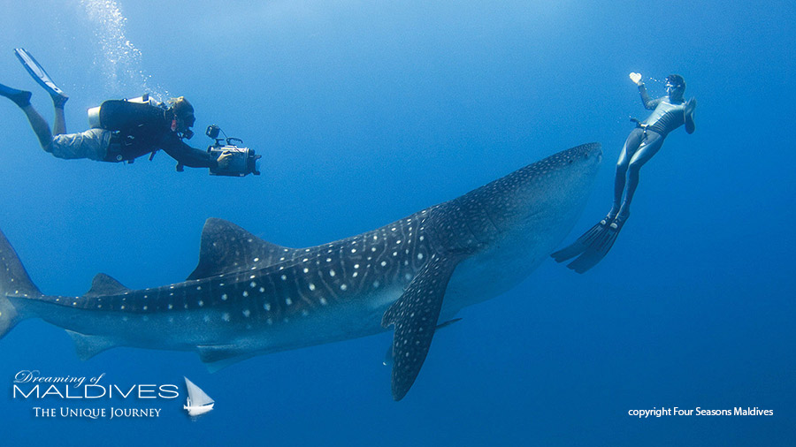 Things To Do In Maldives. Swim with Whale Sharks