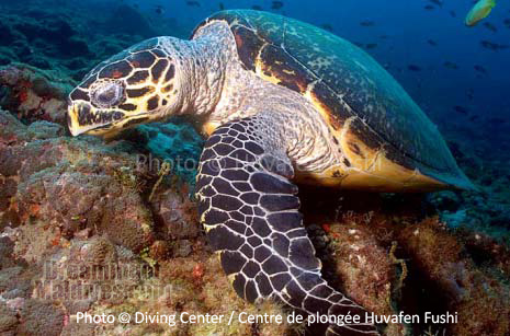 Diving with Turtle North Male Atoll