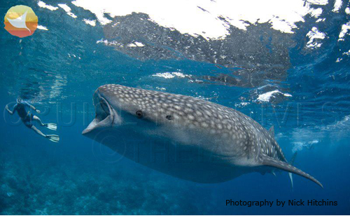 Whale Shark Maldives diving with theia