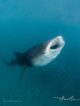 whaleshark maldives baa atoll Amilla