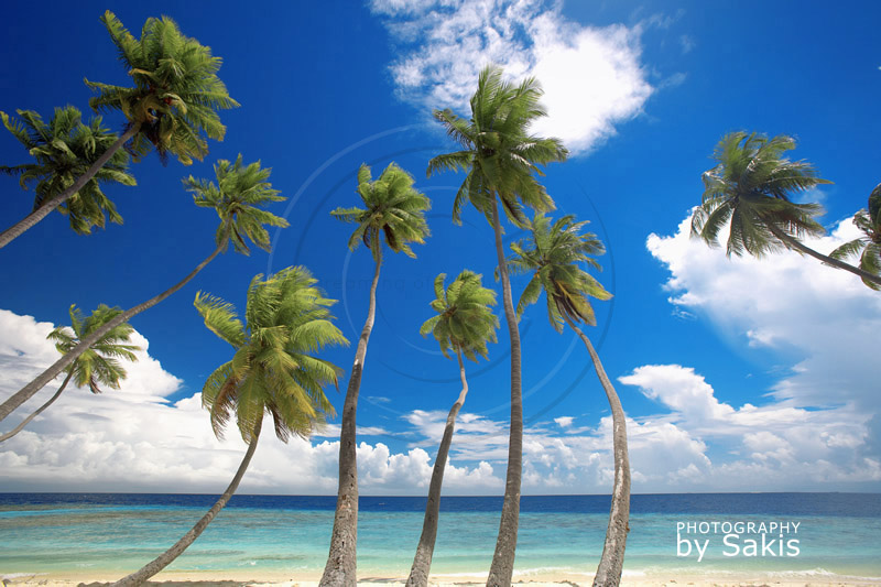 Maldives coconut trees on the beach