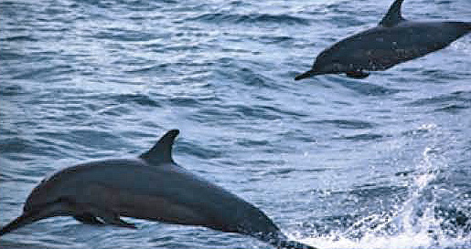 Naladhu Maldives group excursions Sunset Dolphin Watching
