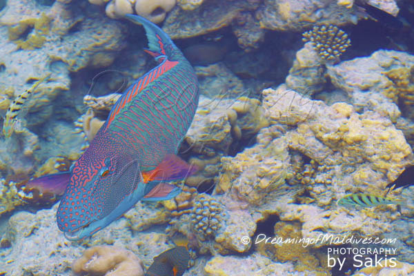 did you know travel fact Maldives Parrot Fishes